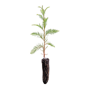 Montezuma Cypress | Small Tree Seedling | The Jonsteen Company