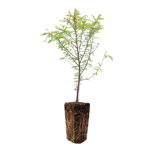 Montezuma Cypress | XL Tree Seedling | The Jonsteen Company