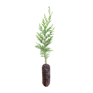 Port Orford Cedar | Medium Tree Seedling | The Jonsteen Company