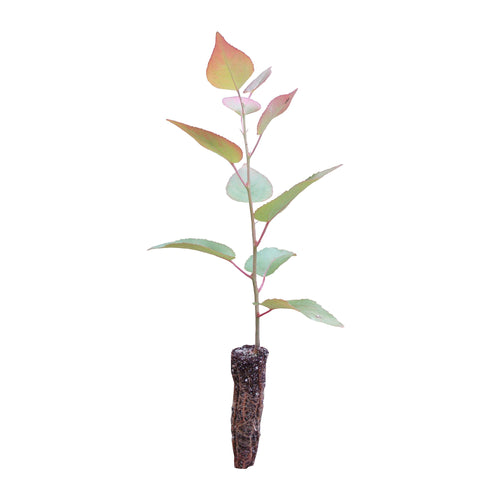 Quaking Aspen | Small Tree Seedling | The Jonsteen Company