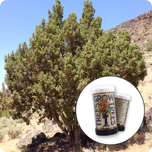 Rocky Mountain Juniper | Mini-Grow Kit | The Jonsteen Company