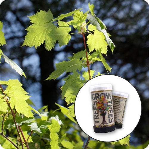 Rocky Mountain Maple | Mini-Grow Kit | The Jonsteen Company