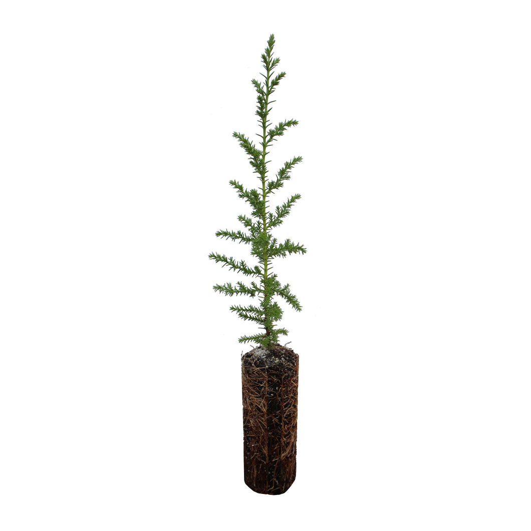 Santa Cruz Cypress | Medium Tree Seedling | The Jonsteen Company