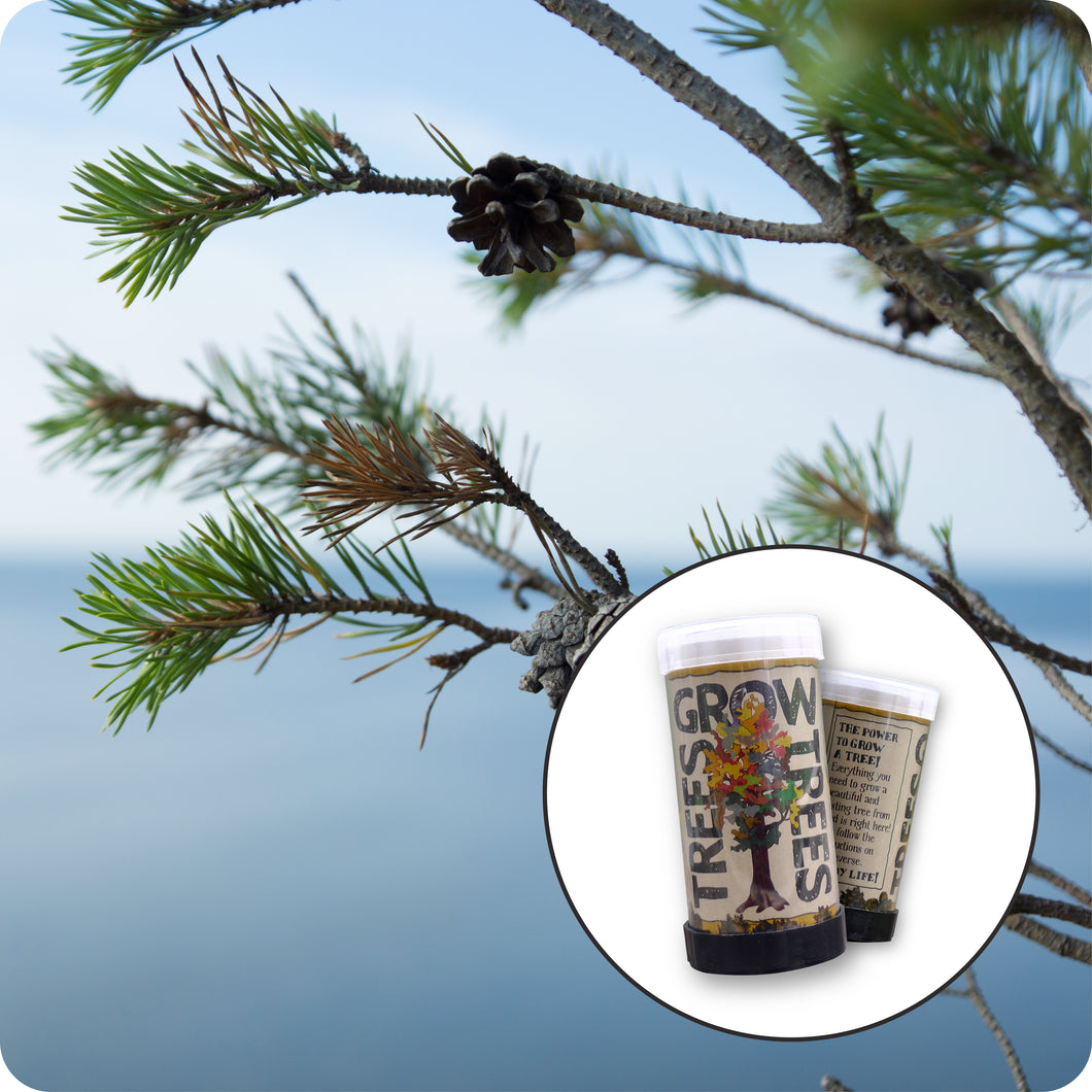 Scotch Pine | Mini-Grow Kit | The Jonsteen Company