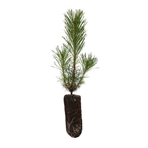 Shore Pine | Medium Tree Seedling | The Jonsteen Company