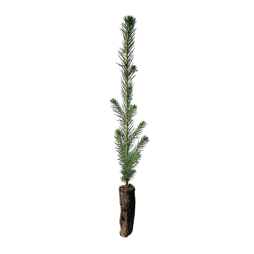 Sitka Spruce | Small Tree Seedling | The Jonsteen Company