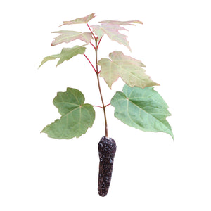 Sugar Maple | Small Tree Seedling | The Jonsteen Company