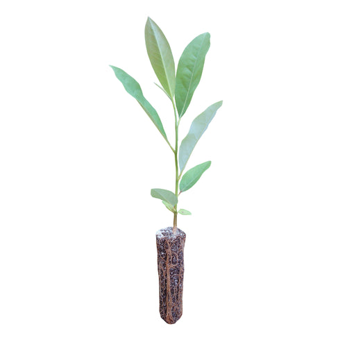 Sweetbay Magnolia | Medium Tree Seedling | The Jonsteen Company