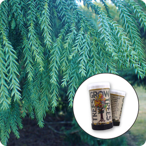 Taiwan Cedar | Mini-Grow Kit | The Jonsteen Company