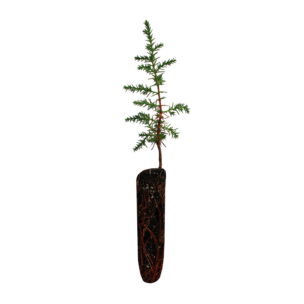 Tecate Cypress | Small Tree Seedling | The Jonsteen Company