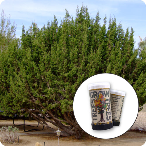 Tecate Cypress | Mini-Grow Kit | The Jonsteen Company