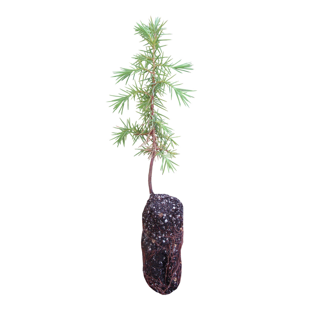 Temple Juniper | Medium Tree Seedling | The Jonsteen Company