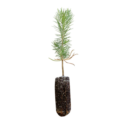 Torrey Pine | Medium Tree Seedling | The Jonsteen Company