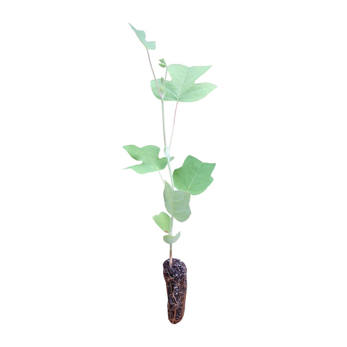 Tulip Poplar | Medium Tree Seedling | The Jonsteen Company