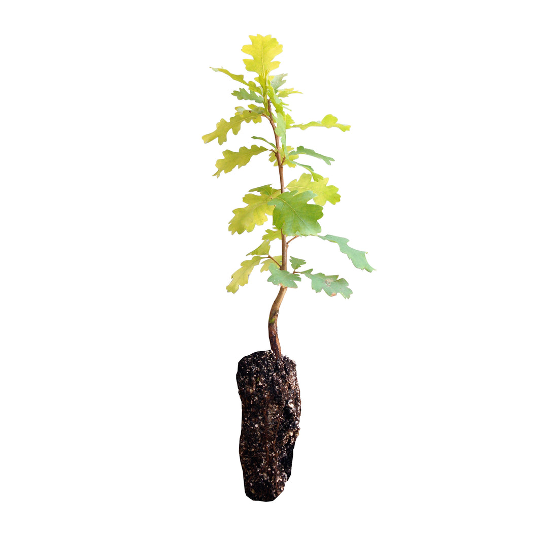 Valley Oak | Medium Tree Seedling | The Jonsteen Company