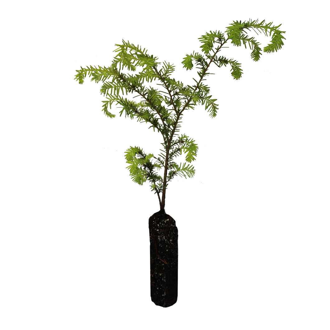 Western Hemlock | Medium Tree Seedling | The Jonsteen Company