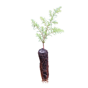 Western Hemlock | Small Tree Seedling | The Jonsteen Company