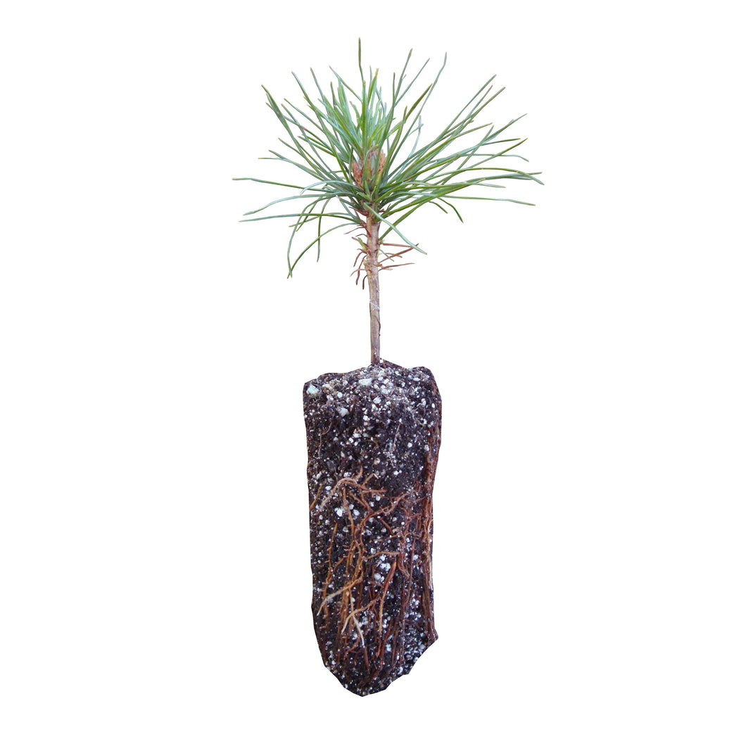 Western White Pine | Medium Tree Seedling | The Jonsteen Company