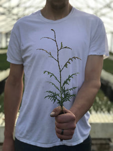 Western Red Cedar | Small Tree Seedling | The Jonsteen Company