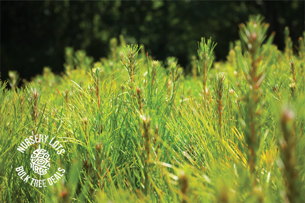 Yellow Mountain Pine | Lot of 30 Tree Seedlings | The Jonsteen Company