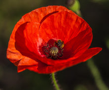 Load image into Gallery viewer, Alaska Red Poppy | Flower Seed Grow Kit | The Jonsteen Company