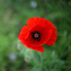 Alaska Red Poppy | Flower Seed Grow Kit | The Jonsteen Company