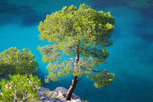Load image into Gallery viewer, Aleppo Pine | Small Tree Seedling | The Jonsteen Company