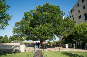 The Oklahoma City Survivor Tree | American Elm | The Jonsteen Company