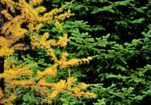 Load image into Gallery viewer, American Larch | Large Tree Seedling | The Jonsteen Company