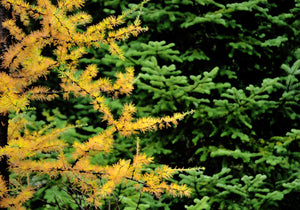 American Larch | Large Tree Seedling | The Jonsteen Company
