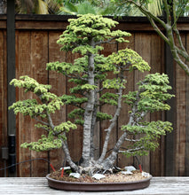 Load image into Gallery viewer, Bonsai Starter | Packaged Live Tree
