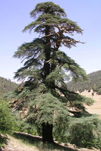 Load image into Gallery viewer, Atlas Cedar | Small Tree Seedling | The Jonsteen Company