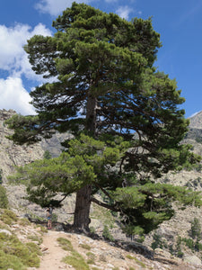 Austrian Black Pine | Medium Tree Seedling | The Jonsteen Company