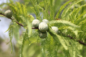 Baldcypress | Medium Tree Seedling | The Jonsteen Company