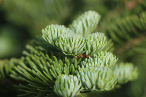 Balsam Fir | Medium Tree Seedling | The Jonsteen Company