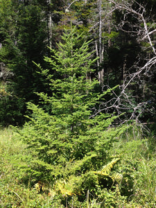 Balsam Fir | Small Tree Seedling | The Jonsteen Company