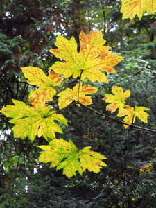 Bigleaf Maple | Small Tree Seedling | The Jonsteen Company