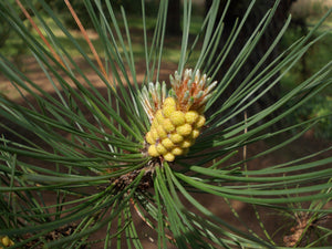 Bishop Pine | Small Tree Seedling | The Jonsteen Company