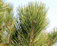 Load image into Gallery viewer, Bosnian Pine | Medium Tree Seedling | The Jonsteen Company