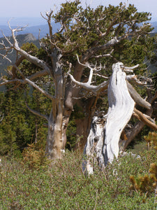 Ancient Bristlecone Pine | Seed Grow Kit | The Jonsteen Company