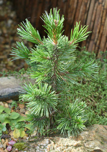 Bristlecone Pine | Pinus longaeva | Small Tree Seedling | The Jonsteen Company