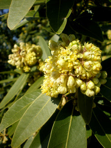 California Bay Laurel | Medium Tree Seedling | The Jonsteen Company