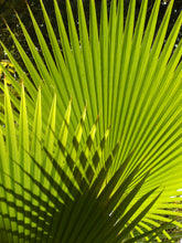 Load image into Gallery viewer, Palm Tree | California Fan Palm | The Jonsteen Company