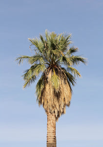 Palm Tree | California Fan Palm | The Jonsteen Company