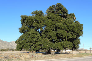 Coast Live Oak | Lot of 30 Tree Seedlings | The Jonsteen Company