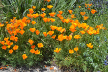 Load image into Gallery viewer, California Poppy | Flower Seed Grow Kit | The Jonsteen Company