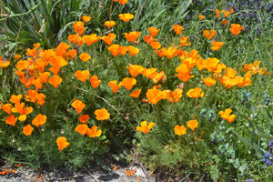 California Poppy | Flower Seed Grow Kit | The Jonsteen Company