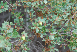 California Scrub Oak | Medium Tree Seedling | The Jonsteen Company