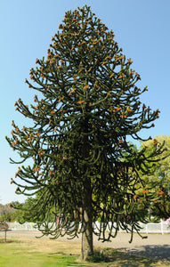 Chilean Monkey Puzzle | Medium Tree Seedling | The Jonsteen Company