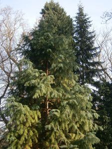 China Fir | Medium Tree Seedling | The Jonsteen Company